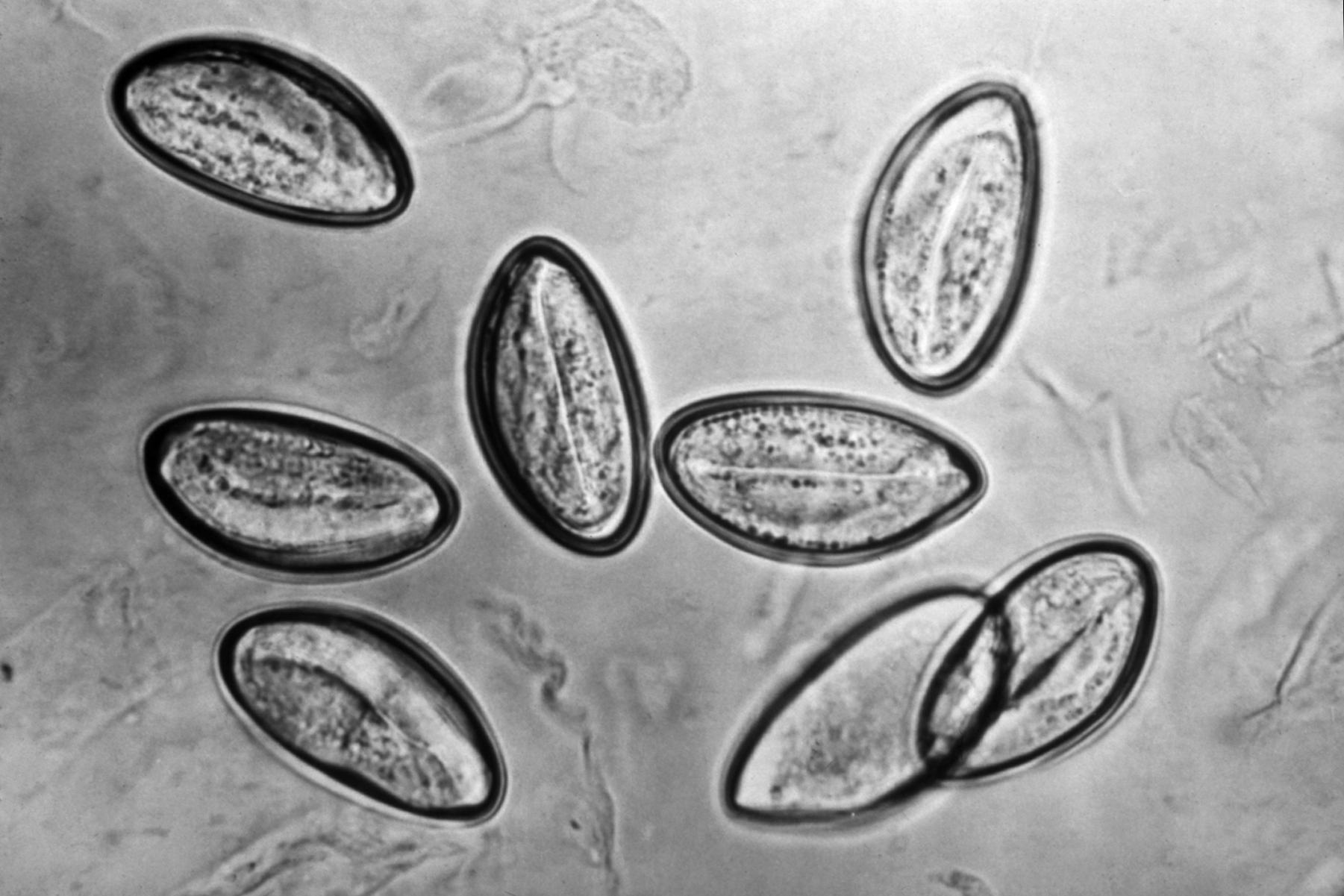 pinworms latin